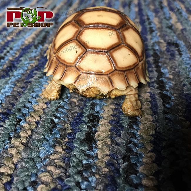 mua bán rùa châu phi