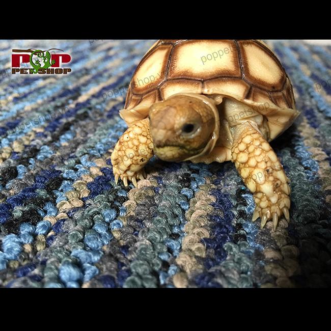 rùa châu phi