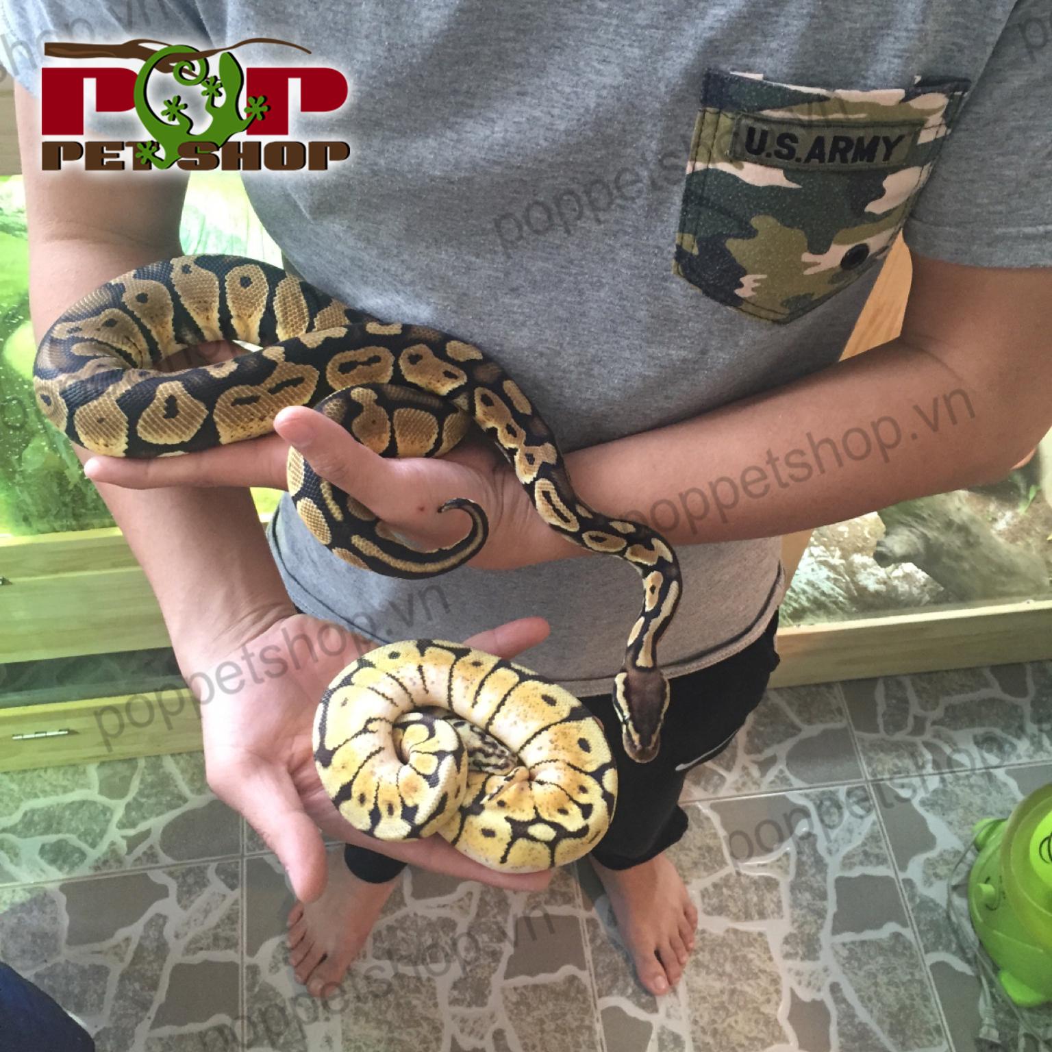 Trăn bóng ball python - cách nuôi ra sao ? » Pop Pet Shop