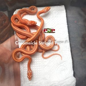 rắn ngô creamsicle striped