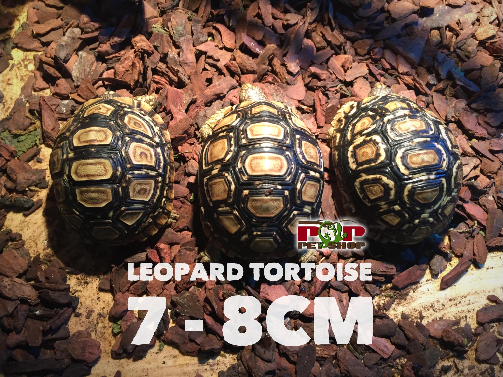 rùa da báo trưởng thành