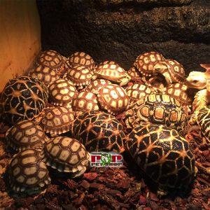 rùa da báo châu phi ấn độ