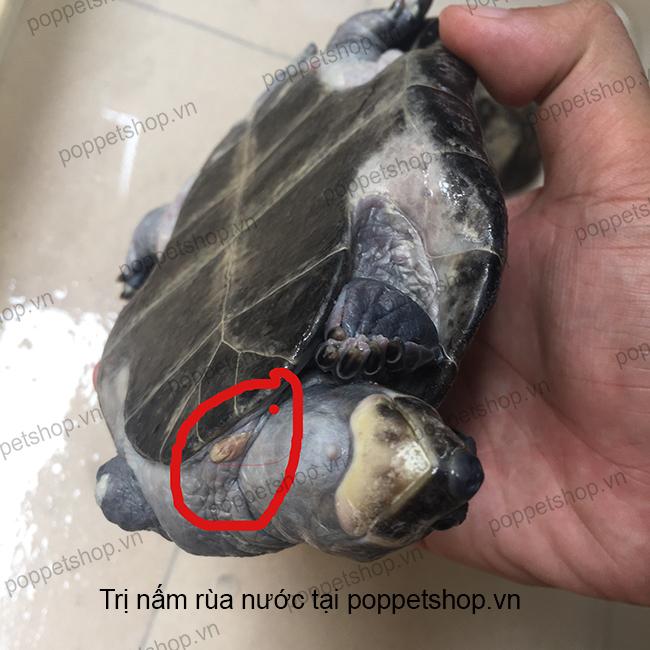 trị nấm rùa nước