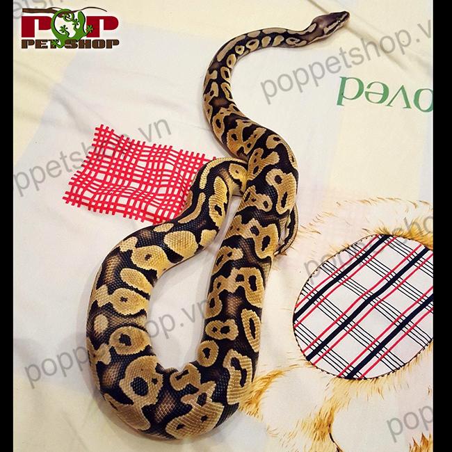 trăn bóng ball python