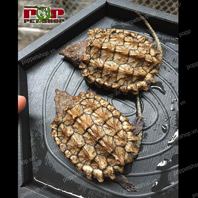 rùa cá sấu mai vàng