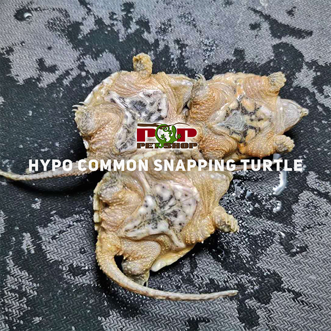 rùa hypo common snapping