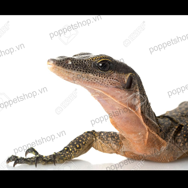peach monitor lizard