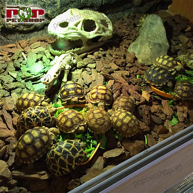 rùa châu phi ấn bỏ ăn