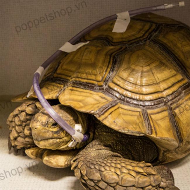 rùa châu phi bị sỏi thận