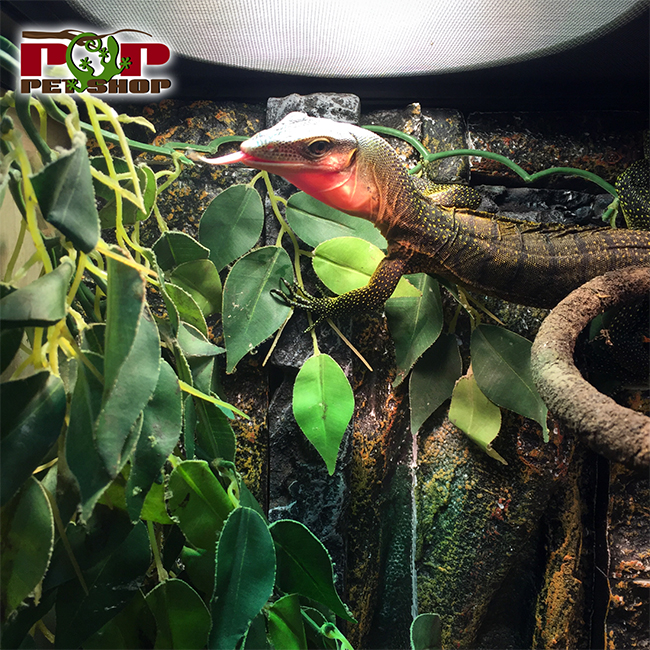 kỳ đà peach throat monitor
