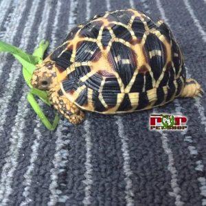 nuôi rùa sao ấn độ