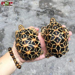 rùa ấn độ max size