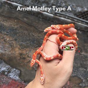 rắn ngô amel motley