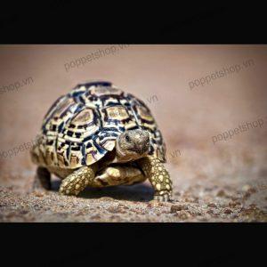 rùa da báo high white