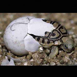 rùa da báo ấn độ đẻ trứng