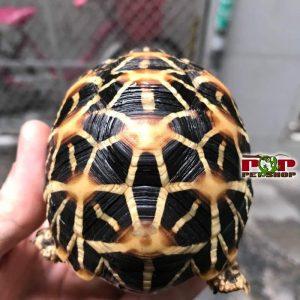 rùa sao ấn độ trưởng thành