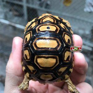 Rùa Da Báo Kenya Tortoise